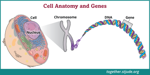 Every cell is controlled by genes that tell cells how to function and when to grow and divide. Cancer is a disease of the genes in our cells. Each cell contains over 20,000 genes. Mutations in just a few genes lead to a variety of complicated effects within the cell. Gene mutations vary between people, so no two cancers are exactly the same.