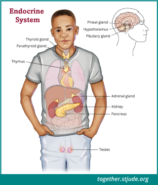 The endocrine system is a group of glands that controls many of the body's functions such as growth, puberty, energy level, urine production, and stress response.