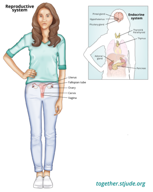 This illustration shows a teen with her uterus, fallopian tubes, ovaries, cervix, and vagina labeled. To the right of the main image, the endocrine system organs are also shown against the silhouette of the young woman's body: pineal gland, hypothalamus, pituitary gland, thyroid and parathyroid, thymus, adrenal gland, and pancreas.