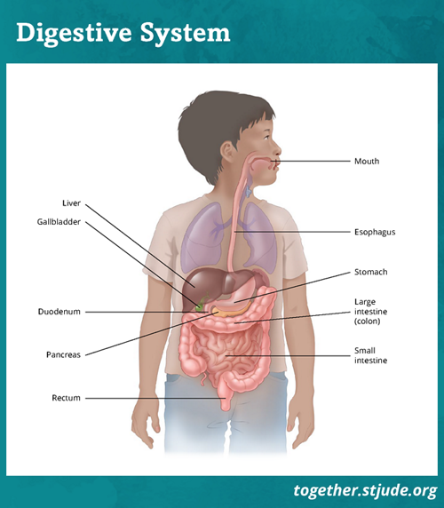 Graphic of a body with layover of organs visible. Organs of the gastrointestinal tract are highlighted, including the esophagus, liver, stomach, gallbladder, pancreas, large intestine, small intestine, appendix and rectum.