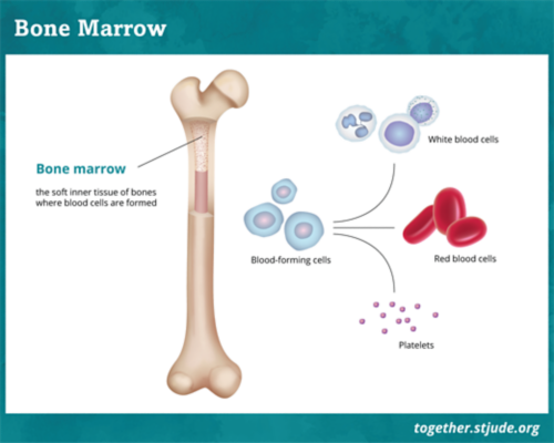 This illustration depicts a long bone with a cross section showing the bone marrow and a callout of blood-forming stem cells that become white blood cells, red blood cells, and platelets.