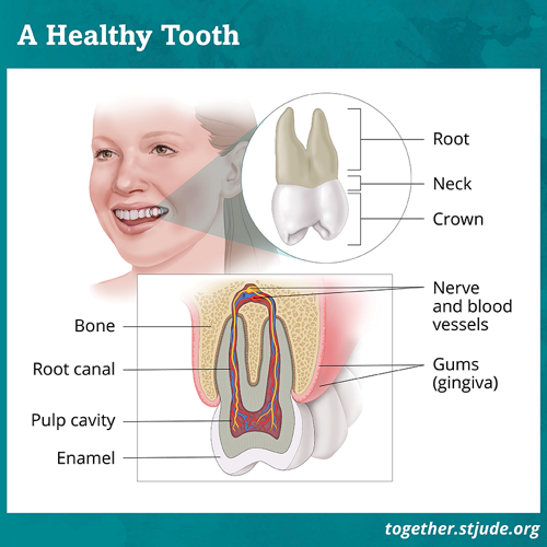 Top graphic of a healthy tooth showing the root, neck and crown. Bottom graphic shows the bone, root canal, pulp cavity, enamel, nerve and blood vessels and gums.