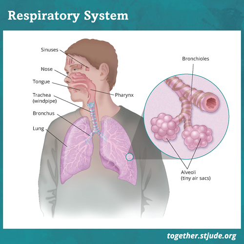 How do the lungs work? A graphic of the respiratory system showing labels for the nose, ethmoid sinuses, tongue, phaynx, trachea, lungs, bronchus, and bronchioles. A zoomed in graphic shows a closeup of the alveoli and bronchioles, which are labeled.