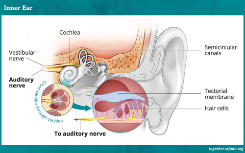 Diagram of the parts of an inner ear which includes cochlea, vestibular nerve, auditory nerve,  semicircular canals, tectorial membrane and hair cells.