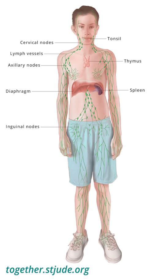 This illustration shows a boy with organs of the lymphatic system labeled: Cervical nodes, lymph vessels, axillary nodes, inguinal nodes, spleen, thymus, and tonsils..