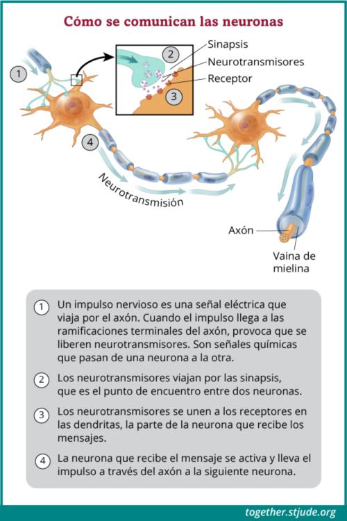 Las neuronas se comunican a través de impulsos nerviosos, o señales eléctricas, que pasan de una neurona a otra.