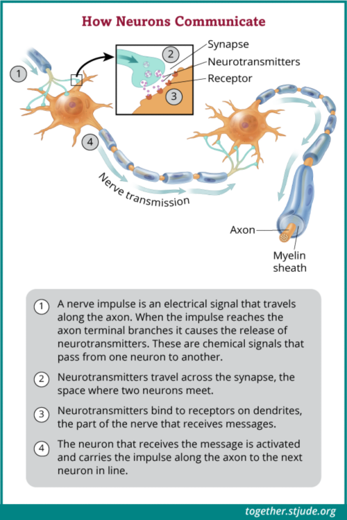 Neurons communicate through nerve impulses, or electrical signals, that pass from one neuron to another.