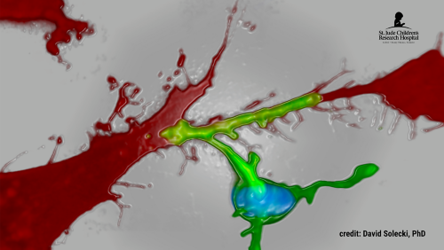 Neuron glial adhesion