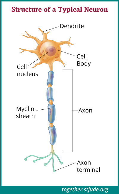 Neurons, or nerve cells, are responsible for communication between the brain and body.