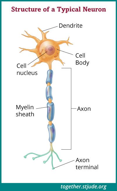 နာ့ဗ်ကြောဆဲလ်များ သို့မဟုတ် အာရုံကြောဆဲလ်များသည် ဦးနှောက်နှင့် ခန္ဓာကိုယ်အကြားဆက်သွယ်ရန် လုပ်ဆောင်ပေးသည်။