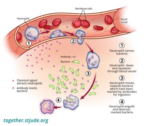 En esta imagen, los neutrófilos detectan las bacterias, atraviesan las paredes de los vasos sanguíneos hasta el sitio de la infección y destruyen las bacterias marcadas.