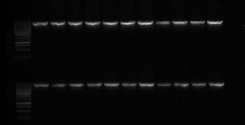 Sample amplification of a piece of DNA