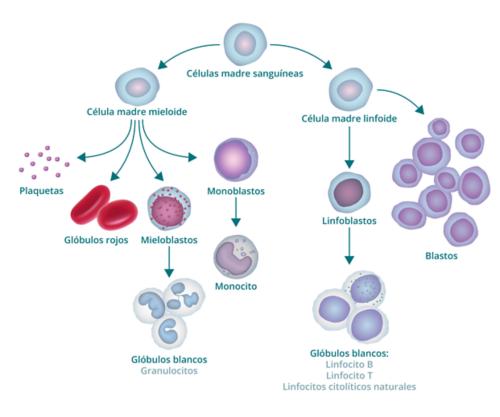 El gráfico muestra el proceso de formación de la sangre y cómo origina blastocitos. El gráfico comienza con una célula madre sanguínea. Hacia la izquierda, deriva en una célula madre mieloide, de la que a su vez derivan plaquetas, glóbulos rojos, mieloblastos y monoblastos. El mieloblasto se transforma en glóbulo blanco (también llamado granulocito) y el monoblasto se transforma en monocito. La rama derecha de la célula madre sanguínea origina una célula madre linfoide, de la que se derivan linfoblastos (que se transforman en glóbulos blancos) y blastocitos.
