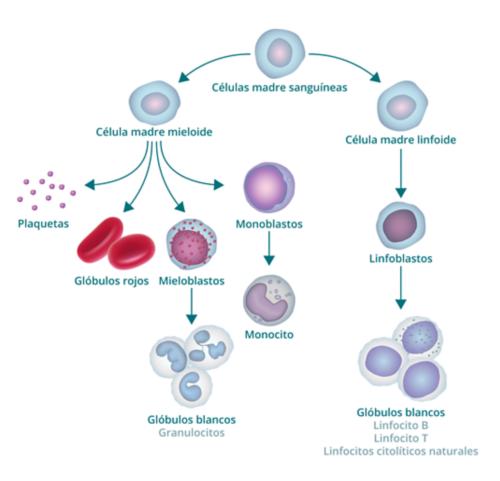 El gráfico muestra el proceso de formación de la sangre y cómo origina blastocitos. El gráfico comienza con una célula madre sanguínea. Hacia la izquierda, deriva en una célula madre mieloide, de la que a su vez derivan plaquetas, glóbulos rojos, mieloblastos y monoblastos. El mieloblasto se transforma en glóbulo blanco (también llamado granulocito) y el monoblasto se transforma en monocito. La rama derecha de la célula madre sanguínea origina una célula madre linfoide, de la que se derivan linfoblastos (que se transforman en glóbulos blancos).