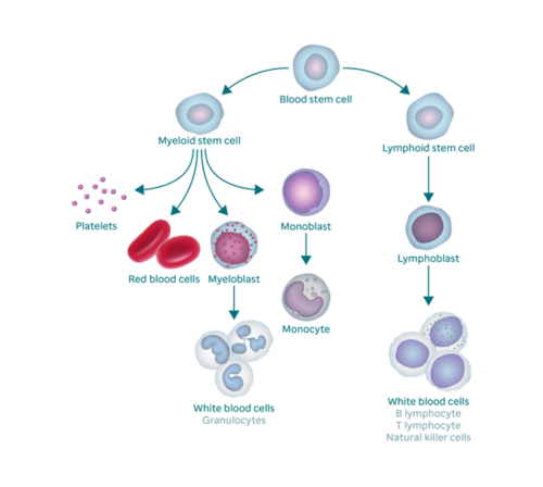 Graphic showing the blood forming process and how it results in blast cells. The graphic begins with a blood stem cell. To the left, it branches off into myeloid stem cell, which branches into platelets, red blood cells, myeloblast, and monoblast. The myeloblast changes into white blood cells (also called granulocytes) and the monoblast changes into a monocyte. The right branch of blood stem cell goes to lymphoid stem cell, which branches into lymphoblasts (which changes into white blood cells).
