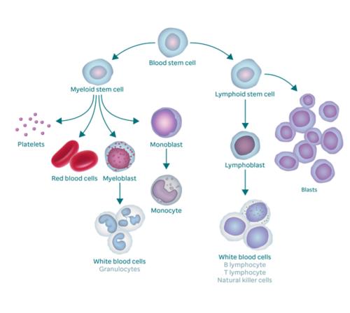 显示血液形成过程及其如何形成原始细胞的图表。图表开始于造血干细胞。在左侧,它分支成髓样干细胞,该干细胞分支成血小板、红细胞、成髓细胞和原始单核细胞。成髓细胞变为白细胞(也称为粒细胞),原始单核细胞变为单核细胞。造血干细胞的右分支形成淋巴样干细胞,淋巴样干细胞分支成淋巴母细胞(变为白细胞)和原始细胞。