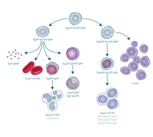 يبين الرسم التوضيحي العملية المكونة للدم وكيف تؤدي إلى خلاياارومية. يبدأ الرسم التوضيحي بخلية جذعية دموية. إلى اليسار، تتفرع إلى خلية جذعية نقيانية تتفرع بدورها إلى صفائح دموية وخلايا دم حمراء وأرومة نقيانية وخلية أحادية الأرومية. تتحول الأرومة النقيانية إلى خلايا الدم البيضاء (تُسمى أيضًا الخلايا المحبّبة) وتتغير الخلية الأحادية الأرومية إلى كرية بيضاء أحادية النواة. يتحول التفرع الأيمن من الخلية الجذعية الدموية إلى خلية جذعية لمفاوية تتفرع بدورها إلى أرومات لمفاوية (تتحول إلى خلايا دم بيضاء) وخلايا أرومية.