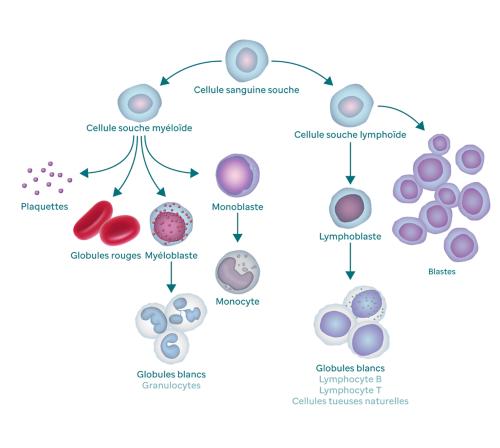Graphique décrivant le processus de production du sang et comment il produit des blastes. Le graphique commence par une cellule souche sanguine. À gauche, elle se ramifie pour donner une cellule souche myéloïde qui elle-même donne des plaquettes, des globules rouges, des myéloblastes et des monoblastes. Le myéloblaste se transforme en globules blancs (également appelés granulocytes) et le monoblaste se transforme en monocyte. La ramification de la cellule souche sanguine du côté droit donne une cellule souche lymphoïde qui se ramifie elle-même en lymphoblastes (qui se transforment en globules blancs) et en blastes.