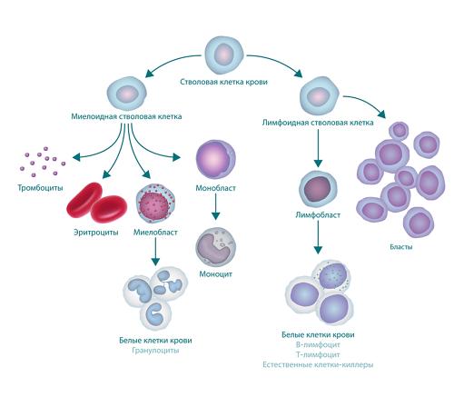 Рисунок, на котором показан процесс кроветворения и формирования бластных клеток. Вверхней части рисунка представлена стволовая клетка крови. Слевой стороны от нее отходит миелоидная стволовая клетка, из которой формируются тромбоциты, эритроциты, миелобласт и монобласт. Миелобласт превращается в лейкоциты (также называемые гранулоцитами), амонобласт превращается в моноцит. Справой стороны от стволовой клетки крови отходят лимфоидные стволовые клетки, формирующие лимфобласты (которые превращаются в лейкоциты) и бластные клетки.