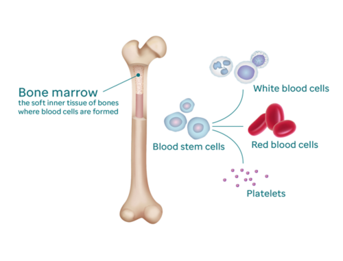 Graphic showing cross section of a bone with exposed bone marrow (labeled as the soft inner tissue of bones where blood cells are formed). On the right, a graphic of blood stems cells branches into white blood cells, red blood cells, and platelets.