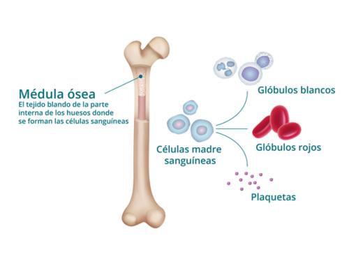 Gráfico que muestra el corte transversal de un hueso con la médula ósea expuesta (etiquetada como el tejido blando interno de los huesos, donde se forman las celulas sanguíneas). A la derecha, un gráfico de cómo las células madre de la sangre se transforman en glóbulos blancos, glóbulos rojos y plaquetas.