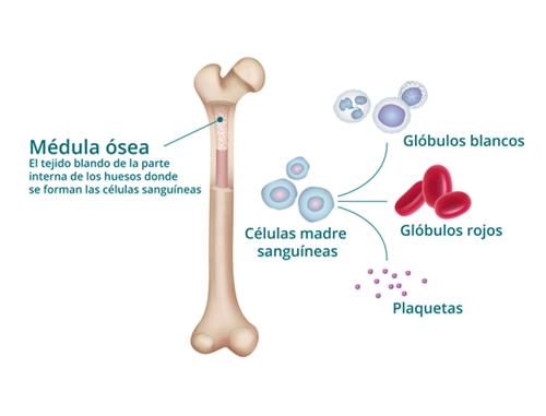 Diagrama de la médula ósea