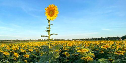 image of sunflower field.
