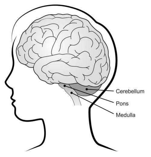 La imagen muestra las estructuras del cerebelo, la protuberancia anular y el bulbo raquídeo del cerebro en la cabeza de un niño.