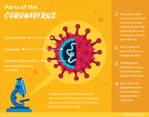 The coronavirus is shaped like a ball or sphere. Spike proteins project out from the shell, giving the virus its crown-like appearance. The spike proteins bind to certain receptors found on cells of the respiratory tract.