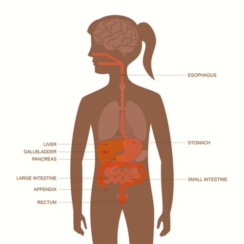 Graphic of an adult female body with layover of organs visible. Organs of the gastrointestinal tract are highlighted, including the esophagus, liver, stomach, gallbladder, pancreas, large intestine, small intestine, appendix and rectum.
