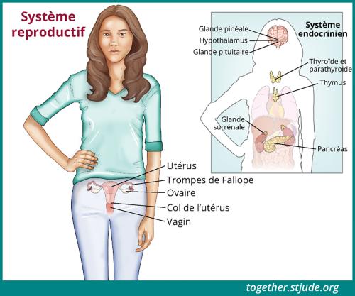 Cette illustration présente une adolescente dont l'utérus, les trompes de Fallope, les ovaires, le col de l'utérus et le vagin sont identifiés. À droite de l'image principale, les organes du système endocrinien sont également représentés sur la silhouette du corps de la jeune femme: épiphyse, hypothalamus, hypophyse, thyroïde et parathyroïde, thymus, glande surrénale et pancréas.