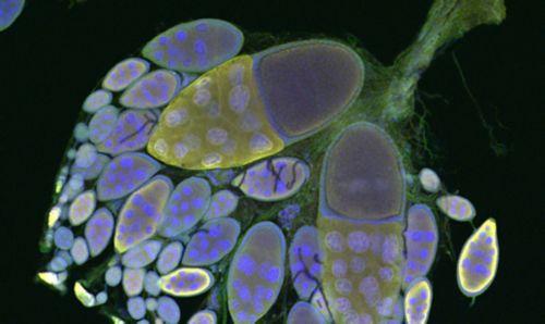 fruit fly ovary