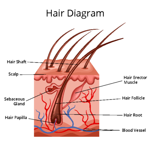 Chemotherapy can harm the cells that control hair growth and support the hair follicle where hair develops. This can cause hair to fall out and prevent new hair growth.