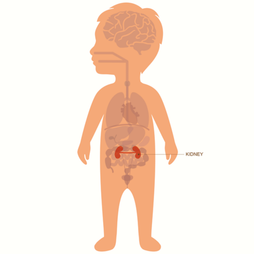 Graphic of a toddler with layover of organs with kidney highlighted and labeled
