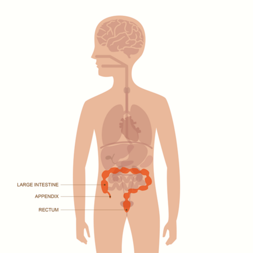 Graphic of an adult male body with layover of organs visible. Organs of the lower gastrointestinal tract are highlighted, including the large intestine, appendix and rectum.