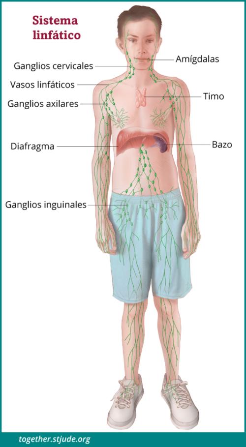causas de un sistema inmunologico debil