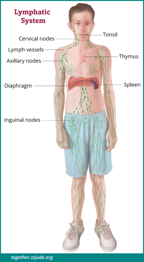 This illustration shows a boy with organs of the lymphatic system labeled: Cervical nodes, lymph vessels, axillary nodes, inguinal nodes, spleen, thymus, and tonsils.