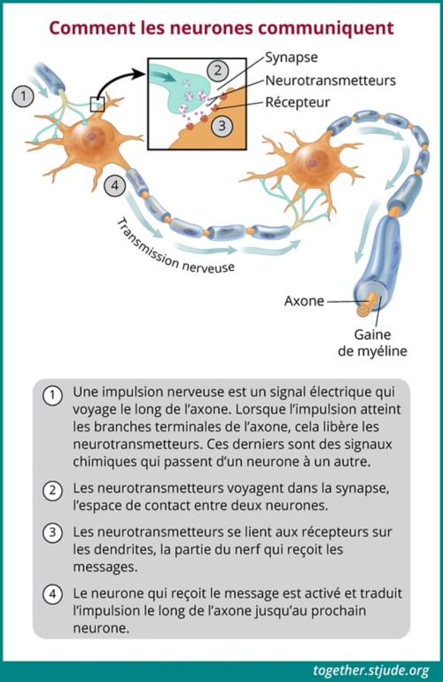 Les neurones communiquent par des impulsions nerveuses ou des signaux électriques qui passent d'un neurone à l'autre.