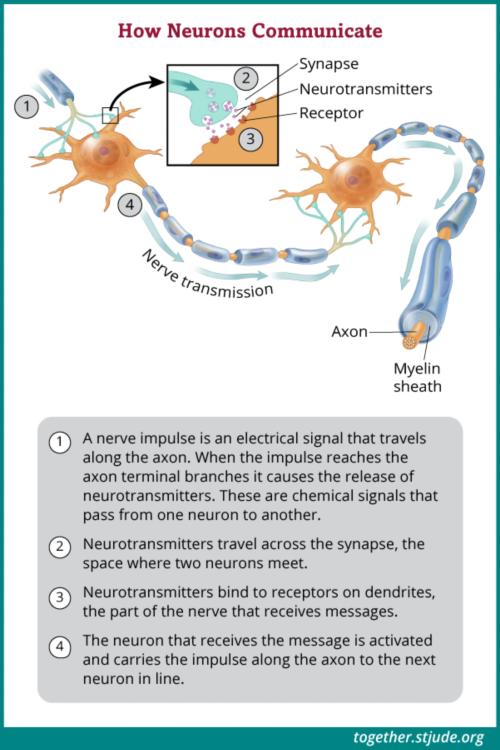 न्यूरॉन्स नस आवेगों या विद्युतीय संकेतों के माध्यम से संचार करते हैं, जो एक न्यूरॉन से दूसरे न्यूरॉन में जाते हैं।