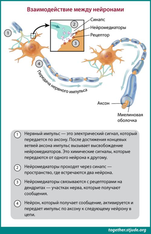 Нейроны обмениваются информацией друг с другом с помощью нервных импульсов — электрических сигналов, передающихся от одного нейрона к другому.