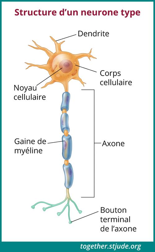 Les neurones (cellules nerveuses) sont responsables de la communication entre le cerveau et le corps.