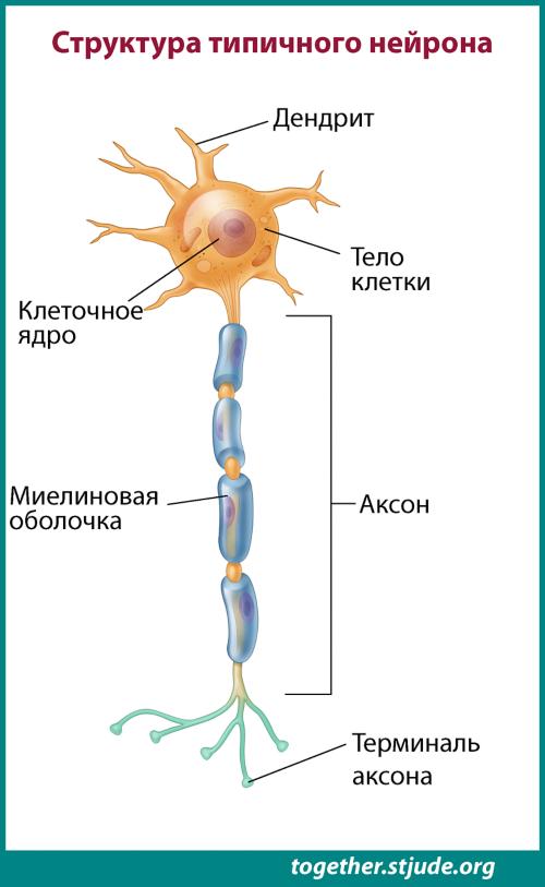 Нейроны отвечают за связь между головным мозгом и телом.