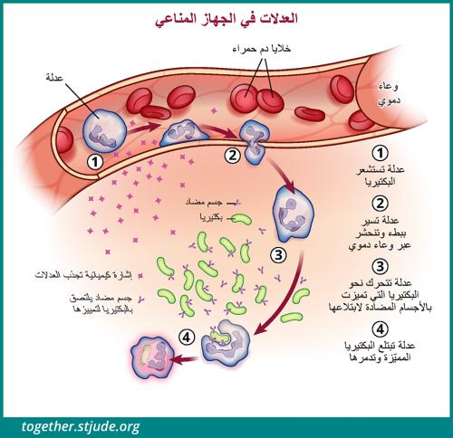 يبين هذا الشكل التوضيحي خلايا العدلات وهي تستشعر البكتيريا وتتسلل عبر الأوعية الدموية إلى موضع العدوى وتدمر البكتيريا المعّلمة.