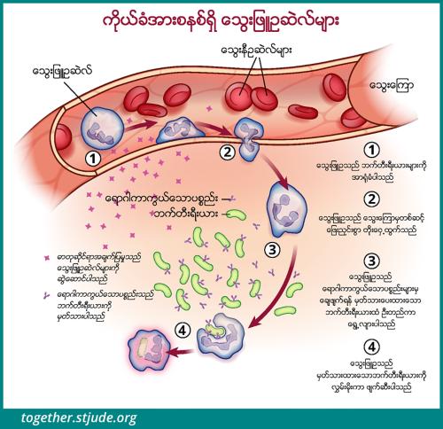 ဤသရုပ်ဖော်ပုံတွင် နျူထရိုဖီးလ်ဆဲလ်များက ဘက်တီးရီးယားကို ခြေရာခံလိုက်ပြီး သွေးကြောထဲမှ တိုးထွက်ကာ ရောဂါပိုးဝင်နေသည့်နေရာသို့ ရောက်သွားပြီးနောက် အမှတ်အသားပြုထားသော ဘက်တီးရီးယားအား သုတ်သင်လိုက်သည်။