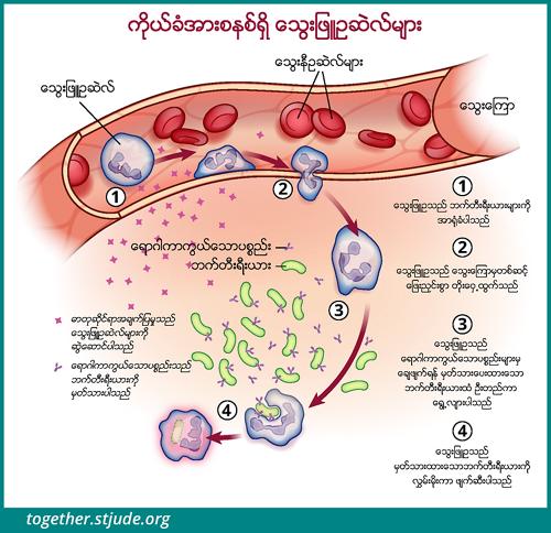ဤသရုပ်ဖော်ပုံတွင် နျူထရိုဖီးလ်ဆဲလ်များက ဘက်တီးရီးယားကို ခြေရာခံလိုက်ပြီး သွေးကြောထဲမှတိုးထွက်ကာ ရောဂါပိုးဝင်နေသည့်နေရာသို့ ရောက်သွားပြီးနောက် အမှတ်အသားပြုထားသော ဘက်တီးရီးယားအား သုတ်သင်လိုက်သည်။