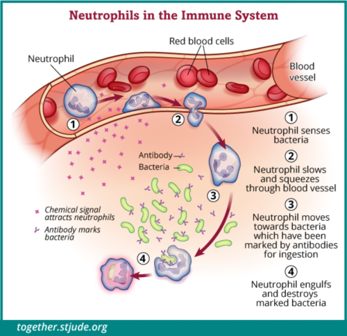 In this illustration neutrophil cells sense bacteria, squeeze through the blood vessel to the site of infection, and destroy the marked bacteria.