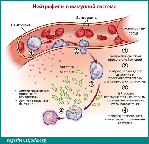 На рисунке изображены клетки-нейтрофилы. Когда они чувствуют присутствие патогенов, то проникают сквозь стенку кровеносного сосуда к месту инфицирования и уничтожают помеченные бактерии.