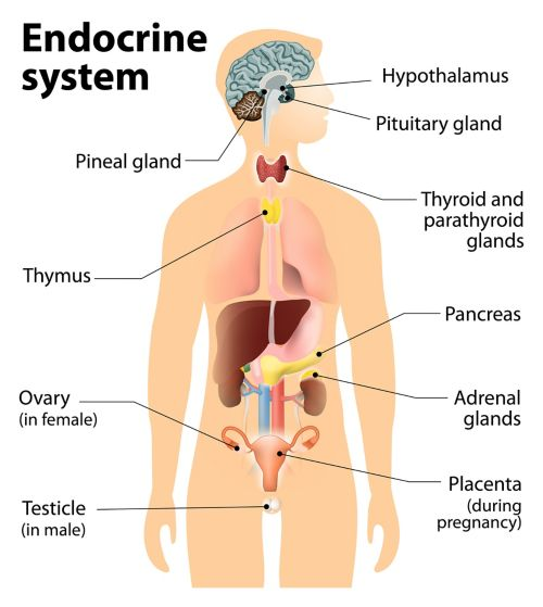 A graphic of an outline of a person showing the endocrine system. Labeled parts are the pineal gland, thymus, ovary (for females), testicle (for males), hypothalamus, pituitary gland, thyroid and parathyroid glands, pancreas, adrenal glands, and placenta (for females).