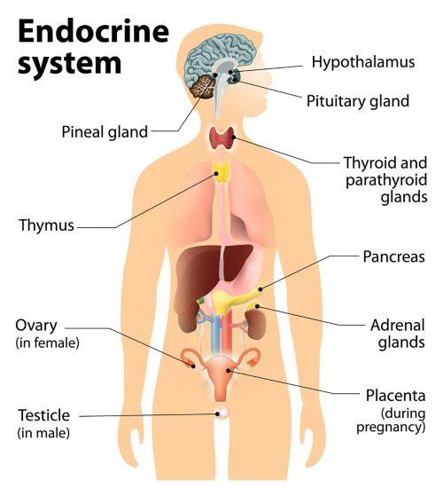 Схематический рисунок тела человека, на котором показана эндокринная система. Обозначены такие части, как шишковидное тело, тимус, яичник (для женщин), яичко (для мужчин), гипоталамус, гипофиз, щитовидная и околощитовидная железы, поджелудочная железа, надпочечники и плацента (для женщин).