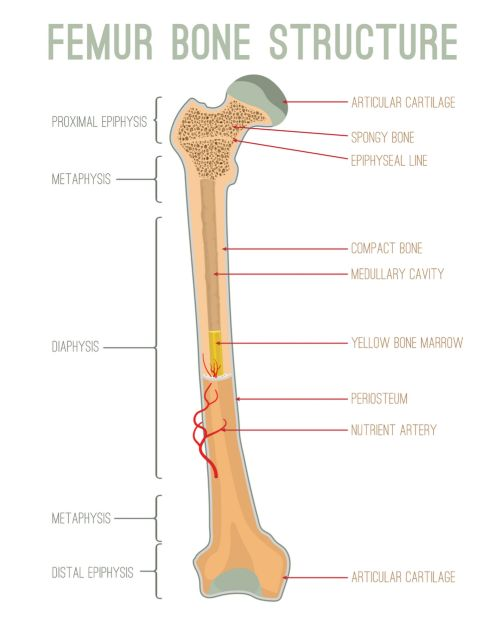 AVN can occurr at the ends of long bones, such as the femoral head of the femur. Here, the femure bone structure is labeled, indentifying the articular proximal epiphysis, metaphysis, diaphysis, and distal epiphysis.